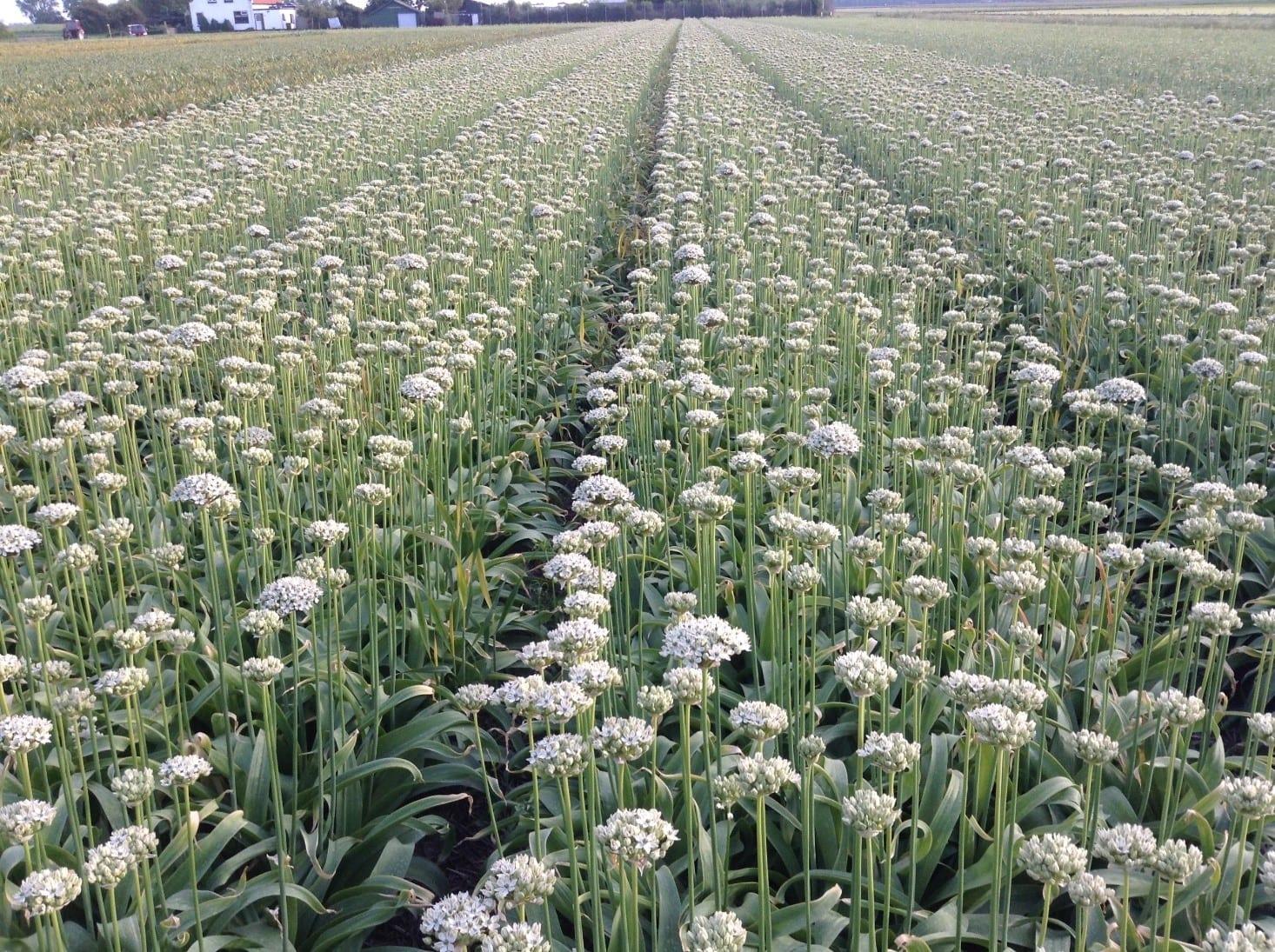Alliums-Nigrum in een veld