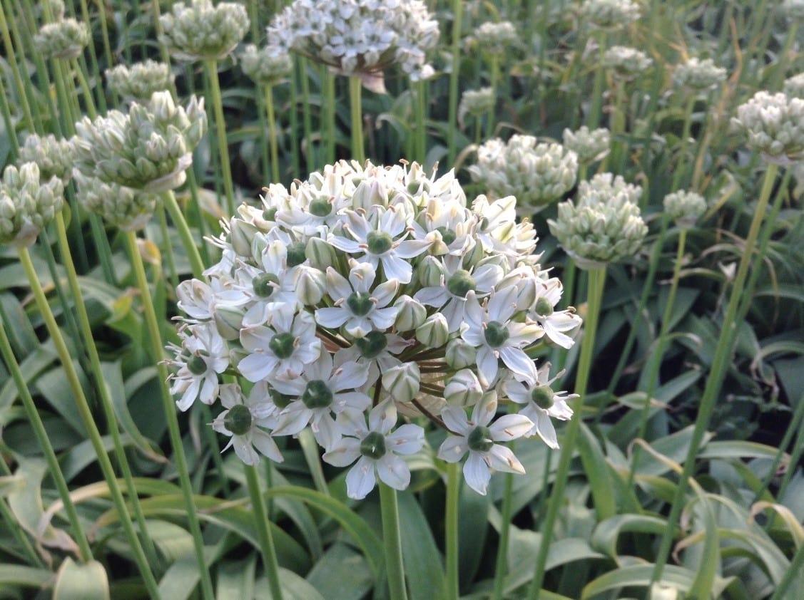Bloem Alliums - Nigrum