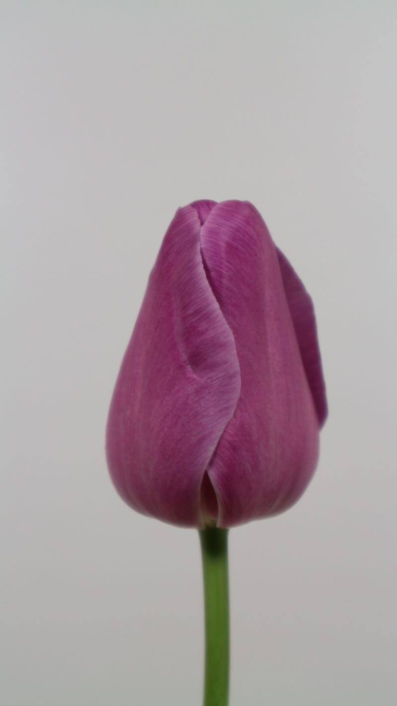 Cultivar Andre Rieu