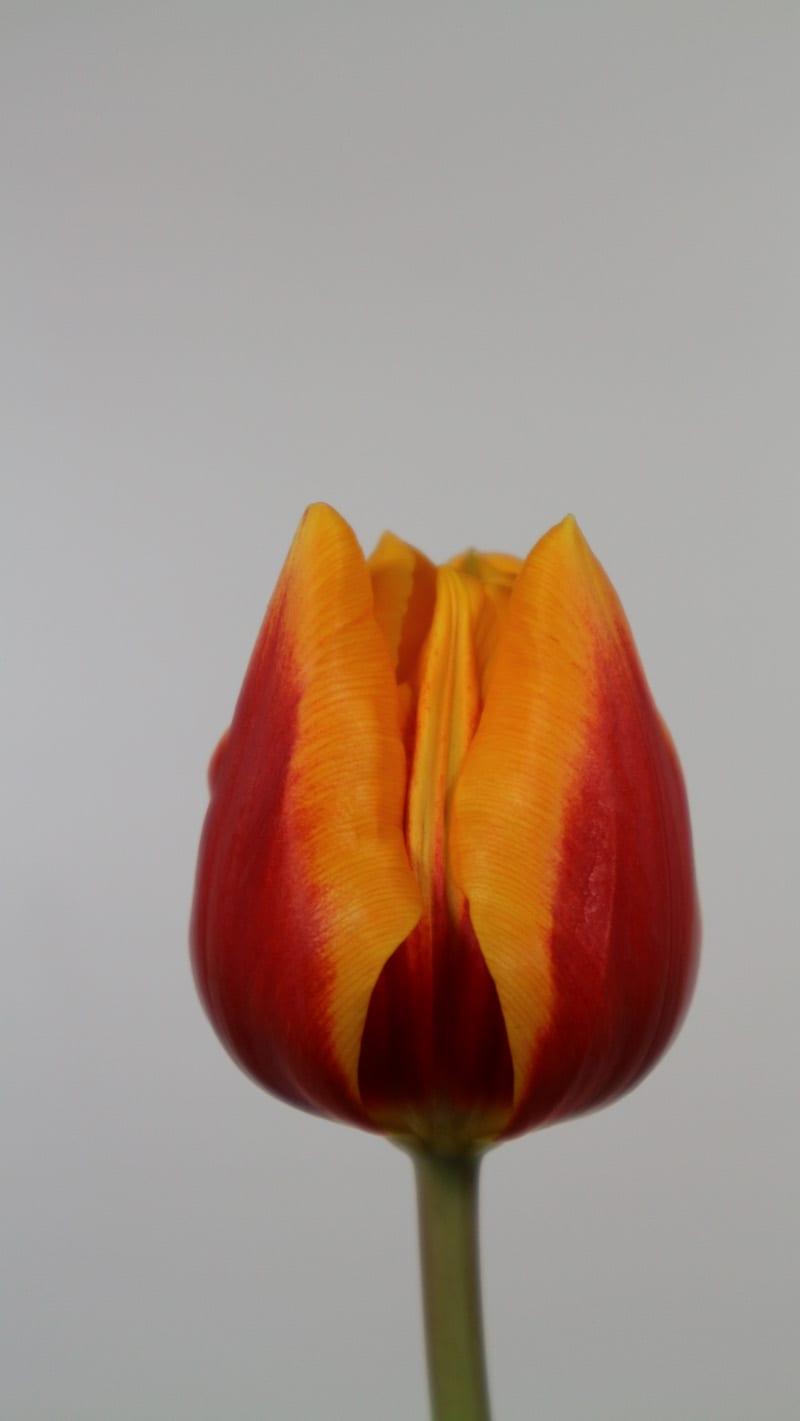 Cultivar Rene Drake