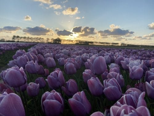 Tulp Blue heaven