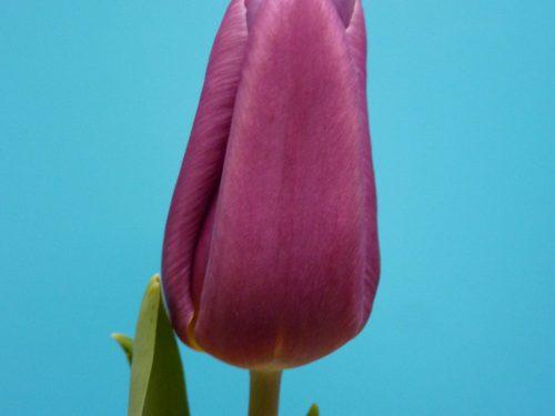 Tulp Copex