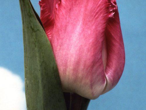 Tulp Katie Melua