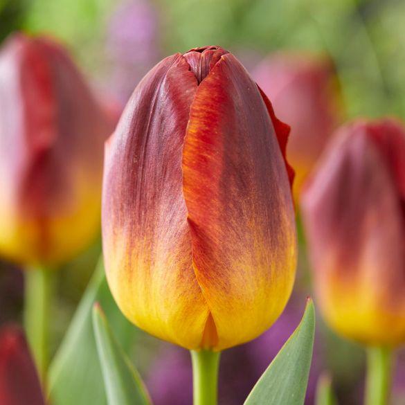 Tulpen Amberglow
