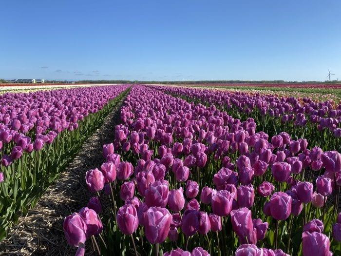 Tulpen Andre Rieu