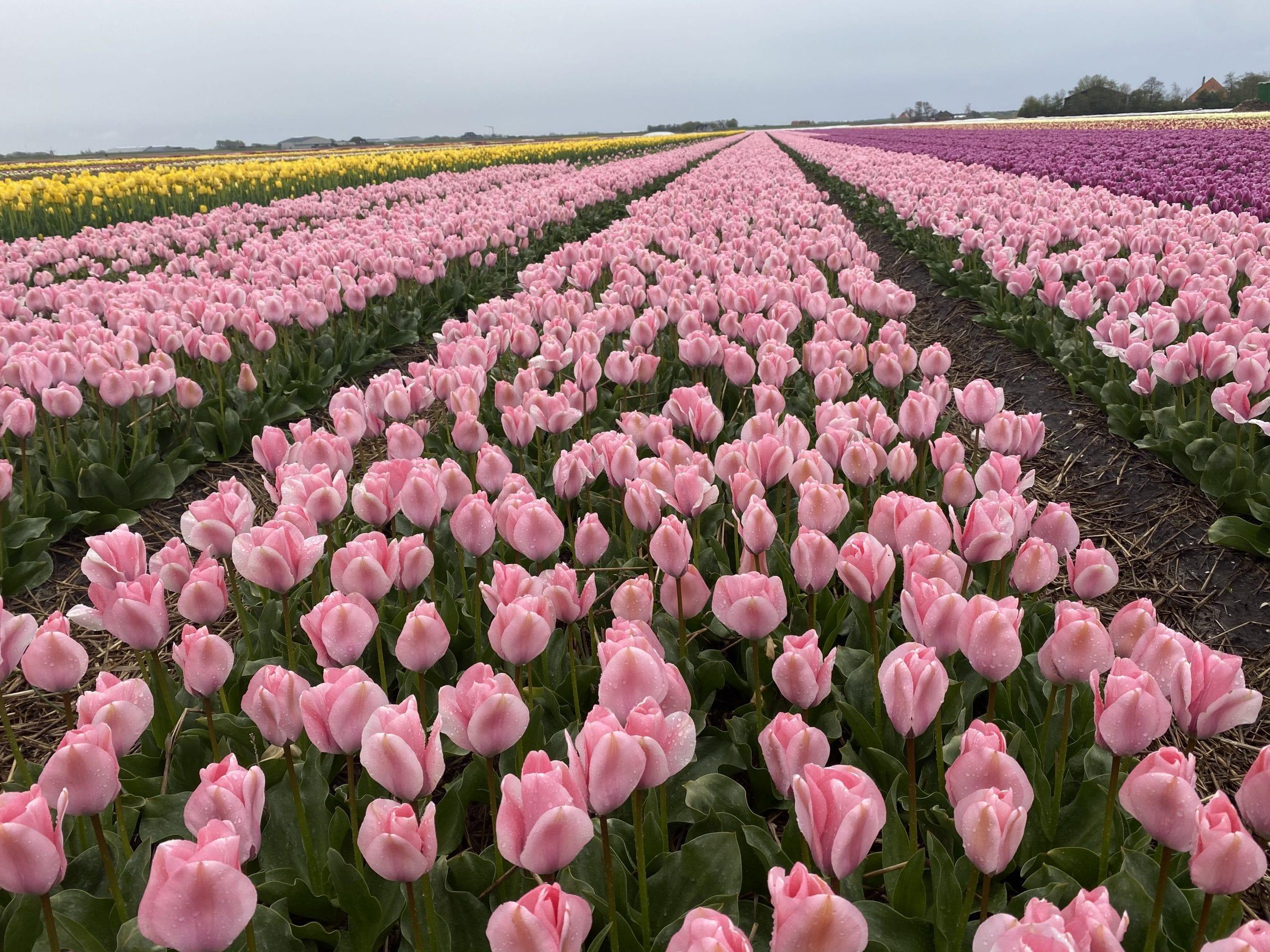 Tulpen Sweet 16