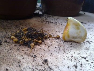 Jaar 2 Het tweede jaar, het zaad is gegroeid tot kleine mini bolletjes.