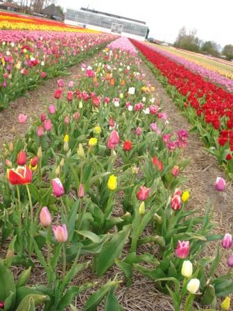 Het zesde jaar, de eerste tulpen vanuit het zaaisel bloemen!