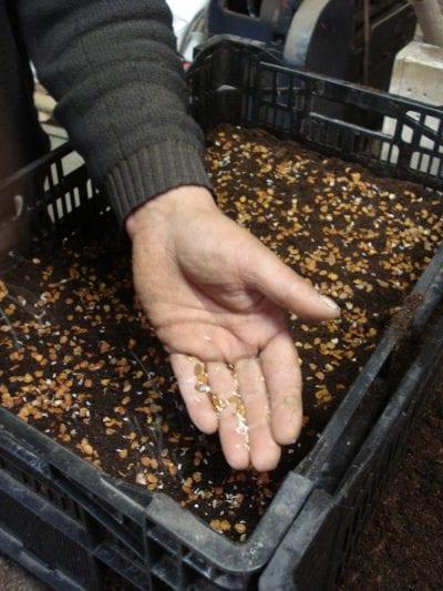 Jaar 1 Het eerste jaar, het zaad vanuit de zaaddozen wordt gezaaid in kratten.